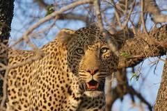 Piercing Eyes (cirdantravels) Tags: leopard lopard luipaard panthera feline bigcat carnivore predator kruger