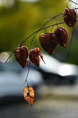 Koelreuteria paniculata (nagyistvan8) Tags: nagyistván túrkeve magyarország magyar hungary nagyistvan8 természet nature bugáscsörgőfa koelreuteriapaniculata növény plant background háttérkép bokeh bokehlicious színek colors barna brown black fekete zöld green fehér white szürke grey sárga yellow ősz autumn ngc 2016 nikon