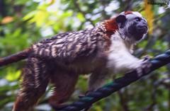 Mico #mico #animals #animalphotography #parquejaimeduque @parquejaimeduque #running #run #colombia (ramrez.mike) Tags: mico animals animalphotography parquejaimeduque running run colombia