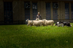 Dogged Determination (Anvilcloud) Tags: people sheep sheepdog lambsdown