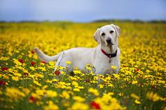 Daisy (Jacky Parker Floral Art) Tags: dog nature field yellow horizontal landscape cornwall labrador cream meadow retriever poppies daisy wildflowers orientation westpentire porthjoke pollyjoke cornmarigolds