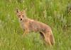 Coyote (Amy Hudechek Photography) Tags: coyote wild animal hunting grandtetonnationalpark gtnp happyphotographer amyhudechek
