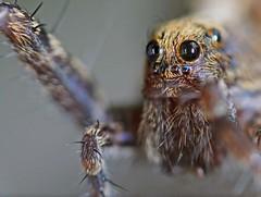 Spider eyes (jd.echenard) Tags: ngc insecte araigne spidereyes mpe65mmf2815xmacrophoto canoneos1000d canoneosrebelt3 yeuxaraigne spinneaugen