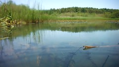 Priddy Pools, Mendips, Somerset, Ian Wade (Disorganised Photographer - Ian Wade - Travel, Wil) Tags: summer nature ian underwater wildlife toads pools frogs tadpoles wade filming priddy mendips fujo xp50