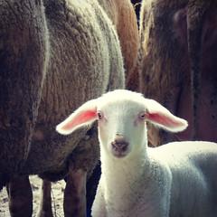 ears (Chantal van der Ende-Appel) Tags: sheep ears lamb late