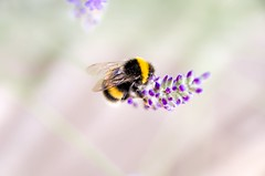 B (Jez22) Tags: copyright plant black flower english floral yellow insect wings flora purple stripes lavender bee busy pollen bumble lavandula jeremysage
