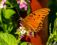 Gulf Fritillary (Ann Jaber Photography) Tags: orange flower tongue butterfly insect wings eyes gulf lepidoptera fritillary entomology