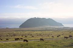DSC06645 (mingzkl) Tags: cliff beach rock cow bigsur westcoast calofornia