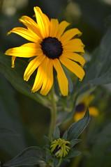 first rays (focallocus) Tags: uk flowers nature yellow garden ian nikon availablelight sooc d5100 focallocus