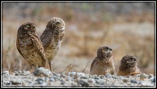 Burrowing Owls 1529