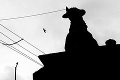 At Hosur Hill Temple (Ragavendran / Rags) Tags: blackandwhite monochrome birds silhouette temple cow sitting eagle pigeon hill flight horns holy wires rest highkey chennai hinduism cwc hosur hilltemple nandhi chandrachoodeshwarar chennaiweekendclickers ragavendran