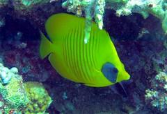 Butterfly (terry.1953) Tags: sea fish redsea scuba diving scubadiving mygearandme mygearandmepremium yellowbutterflyfishunderwater