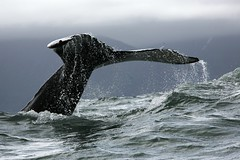 Husavik Whale (Alessio Meliado) Tags: stormyday roughocean husavikwhalewatching whalewatchinginiceland