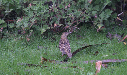 """White's Thrush, St. Agnes, 27.10.13, D.BoyleA • <a style=""""font-size:0.8em;"""" href=""""http://www.flickr.com/photos/30837261@N07/10577344064/"""" target=""""_blank"""">View on Flickr</a>"""