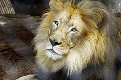 Lion, San Diego Zoo (ncs1984) Tags: california travel usa animal america cat zoo san sandiego lion diego