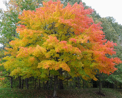 fall colors (courtney065) Tags: autumn nature landscapes october autumnleaves mapletrees nikond90
