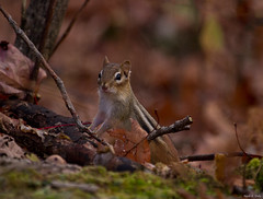 Autumn Chippy (markvcr) Tags: usa fall leaves massachusetts ngc chipmunk npc berkshires tamiasstriatus easternchipmunk supershot slicesoftime coth5 sunrays5