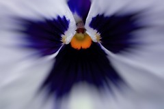 Pansy (Paul Sibley) Tags: flower photoaday alienskinbokeh2 2013inphotos canonpowershota1400