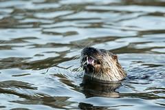 Otter - with her fresh fish (Mr F1) Tags: dorset otter riverstour lutralutra johnfanning europeanotter