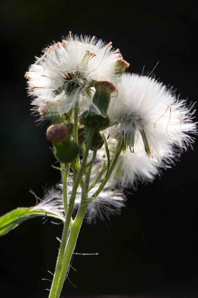 dandelion-6431.jpg