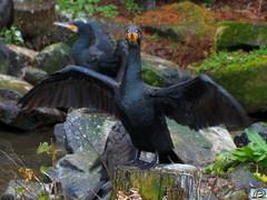 Blijdorp black bird (Brian de Leeuw) Tags: black bird netherlands animals zoo rotterdam blijdorp gimp cybershot dieren dierentuin dryingwings hx300 b4fotos