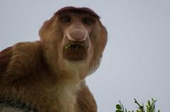 Bako National Park#13 (Florian Lebrun | Photographie) Tags: vert sarawak malaysia borneo monkeys kuching proboscis nasique bakonationalpark