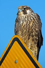 Peregrine Falcon (Brian E Kushner) Tags: new birds animals wings nikon wildlife nj falcon jersey brigantine forsythe afs 119 peregrine d800 birdwatcher 143 peregrinefalcon falcoperegrinus forsythenwr 80400 f4556 vrii forsythenationalwildliferefuge oceanville nikond8