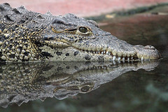 Reflected Smile (Buggers1962) Tags: reflection nature face animal closeup canon zoo eyes close wildlife crocodile colchester carnivore colchesterzoo waterreflection carnivora greatphotographers itsazoooutthere canon7d highqualityanimals