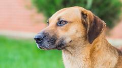 DSC03879 (Alexandro da Silva) Tags: dog animal natureza cachorro