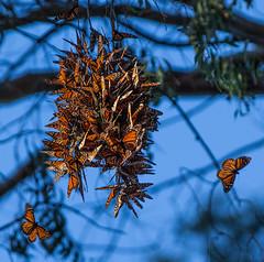 Monarch Butterflies (3dphoto.net) Tags: california orange santacruz beautiful branches cluster insects bluesky eucalyptustree monarchbutterflies naturalbridgesstatepark flittering
