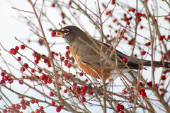 Eating berries in the snow (Nikki OK) Tags: winter snow cold bird robin berries americanrobin