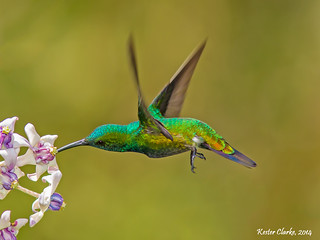 Green-throated Mango (Anthracothorax viridigula)