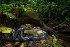 Clelia equatoriana (Primeval Nature) Tags: southamerica nature creek ecuador rainforest shiny stream day outdoor reptile snake wildlife wideangle iridescent cloudforest iridescence snakes clelia reptiles environmentalportrait reptilia colubrid colubridae fullbody mindo pichincha wideangleportrait septimoparaiso opisthoglyphous rearfanged mussurana backfanged cleliaequatoriana equatorialmussurana ophiophagous mindendec2013 elséptimoparaisocloudforestreserve