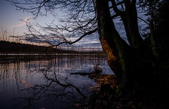 Beaver Tree Sweden (hammoj28) Tags: wood trees sunset shadow red sky sun lake reflection tree water set forest woodland reeds lens landscape moss angle sweden stockholm wildlife wide sigma eaten chips beaver bark loch chippings