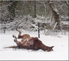 sneeuwbad Schneebad having bathies (creating more portraits...) Tags: schnee horse snow sneeuw roll pferd sneeuwpret paard merrie rollen badderen snowbeard sneeuwbad groningerpaard