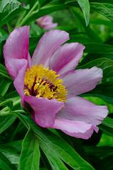 Paeonia (talaakso) Tags: flower leaf peony blad blomma blatt lehti paeonia pfingstrosen kukka ponien pionit peoner terolaakso pionslktet talaakso