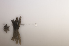 Pelicans on The Lake (_Scorps_) Tags: street winter lake abstract reflection tree bird water fog landscape blackwhite still cool albert pelican company elderly stump biscuits minimalist waggawagga pleasures riverina