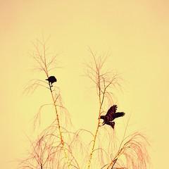(liquidnight) Tags: camera birds animals oregon portland backyard nikon wildlife birding urbanwildlife pdx laurelhurst crows birdwatching corvusbrachyrhynchos americancrow corvidae d90 corvids instagram
