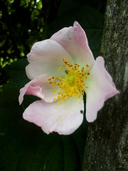 Wild Rose 5 (jeanette.horvath //Jeanne//) Tags: flowers roses flower nature rose spring blossom blossoms flowering wildrose blossoming wid