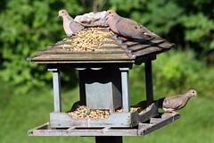 Mourning Doves_9475 (Bobolink) Tags: ontario stirling mourningdove