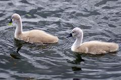 Cygnets (MalB) Tags: cambridge bird swan pentax cam cygnet k5