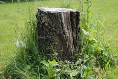 Stump (Ben Moffat) Tags: tree green grass garden weeds stump