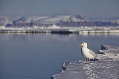 Gull on the edge. (Clare Kines Photography) Tags: canada birds gulls north arctic nunavut glaucousgull larushyperboreus arcticbay floeedge