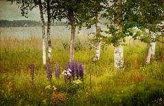 Summer night. (BirgittaSjostedt-away on vacation, back Augusty 1.) Tags: light summer lake flower water grass leaf midsummer grunge meadow dirt summertime birches grungy texyure magicunicornverybest magicunicornmasterpiece