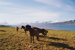 . (Careless Edition) Tags: horses film nature island photography iceland east fjords icelandic