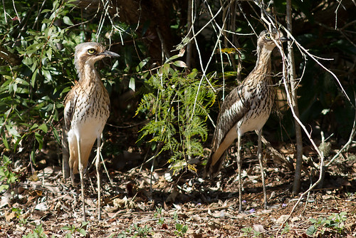 Bush Thick-knee 130629