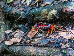 20140619-P1020577.jpg (dylanmj) Tags: abstract hot green beach nature lumix costarica colorful flickr natural sunny panasonic pacificocean jungle tropical defensive pathway naturepreserve claws malpais facebook invertebrate caboblanco beachtown nicoyapenninsula mouthlesscrab dmclx3 groundcrab june2014