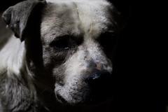 (人生. ラブ. 後悔.) Tags: quilpue chile animal perro dog portrait gray