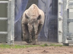 A very brief meeting but Welcome Little Man! (Sharon B Mott) Tags: blackrhino rhinoceros animal yorkshirewildlifepark october savetherhino