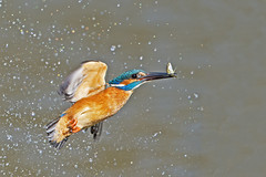 Kingfisher (Alcedo atthis) (phil winter) Tags: kingfisher alcedoatthis male stickleback spray